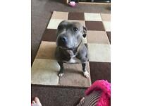 Staffy for sale!!!!