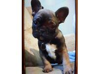 Beautiful 8 week old french bulldog puppy