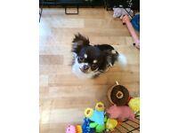 Beautiful Chihuahua Boy