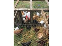 Mixed chickens £8