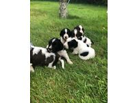 Puppies in Cornwall   Dogs & Puppies for Sale - Gumtree