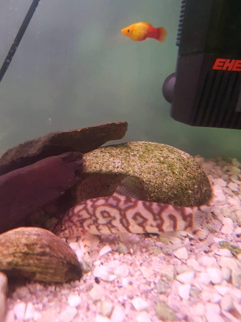 Tropical Fish / Pakistani Yoyo Loach 6cm fully grown / stunning scaleless fish