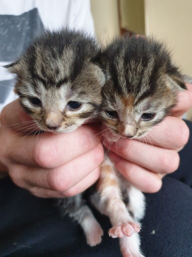 Grey Black Tiger Striped Kittens 1xm 1xf In Kinross Perth And Kinross Gumtree