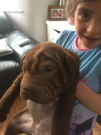 Shar pei puppies for sale!!