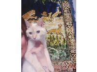 male cat ragdoll mix