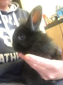2 beautiful baby lion head rabbits 1 boy and 1 girl left looking for a livening forever home.