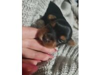 Lovely boy Mini Yorkshire Terrier in Luton