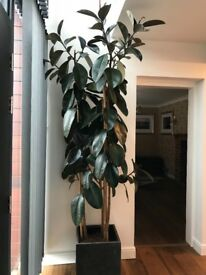 2.5m Tall Rubber Plant