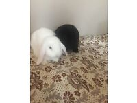 Mint lop rabbit