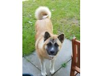 Kc reg akita 7 month old puppy
