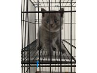 British blue ( short hair ) kitten