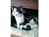 Gorgeous black and white kittens