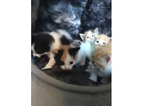 Adorable cute calico tortie ginger blsck white mixed dalmation kittens