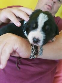 New foundland x border collie puppies