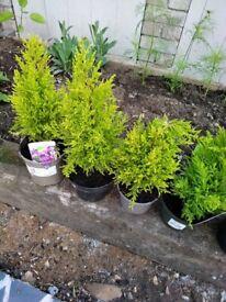 Goldcrest conifers