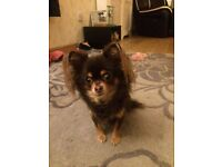 Julie s Chihuahua Boarding and pet sitting
