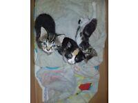 Gorgeous tabby kitten for sale