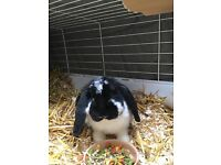 Giant French lop