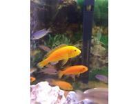 African Malawi Cichlids fish (lab)