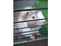 guinea pig for sale