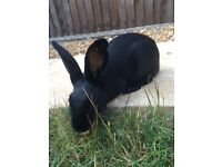 Black English Rabbit