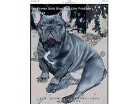 Kc registered French bulldog puppy