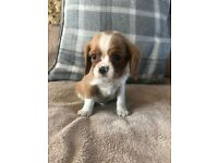 ** Cavalier King Charles Puppies **