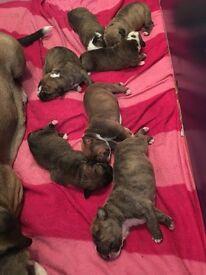 Old Tyme Bulldog X Mastiff Puppies