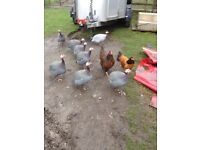 Guinea fowl, 2 male birds for sale, as too many males in flock