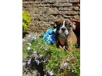Brindle English bulldog girl