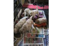 K.C. Registered Miniature Apricot Poodle Puppies for sale.