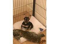 Chocolate tan French bulldog puppy