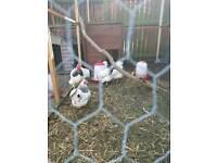 Light Sussex bantam chicken eggs