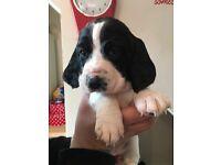 Bassett Hound x Springer Spaniel Puppies