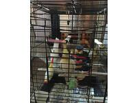 Male cockatiel free