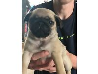 One male pug puppy