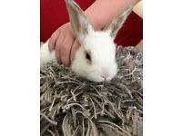 super tame baby mini rabbit female and brand new indoor cage