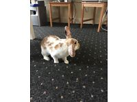 Female Rabbit for sale with accessories