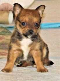 Chihuahua x Cairn Terrier Female Puppy last girl left
