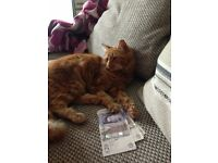 Missing since January Tiger Ginger Tom cat