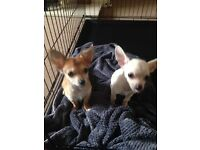 2 beautiful chihuahua boys wanting a loving forever home