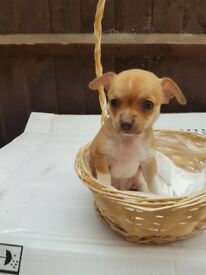 male chihuahua puppy 6 weeks old