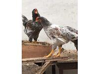 3 month old barnvelder roosters
