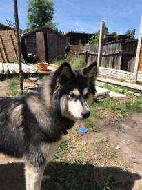Husky x malamute for sale