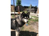 Husky x malamute for sale