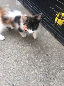 Beautyfull female kitten 8 weeks