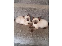 2 MALE RAGDOLL KITTENS. DIFFERENT PRICES READ ADVERT.