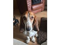 Basset Hound male, 5yrs old, neutered, microchipped