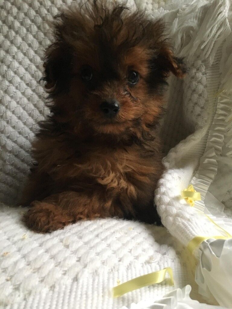 Dogs For Sale County Durham Gumtree