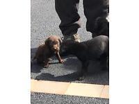 Irish water spaniel/labrador cross pups